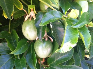 Unripe passion fruit on the vine