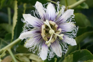 Passion Fruit Flower, bursting through on the vine in our garden today